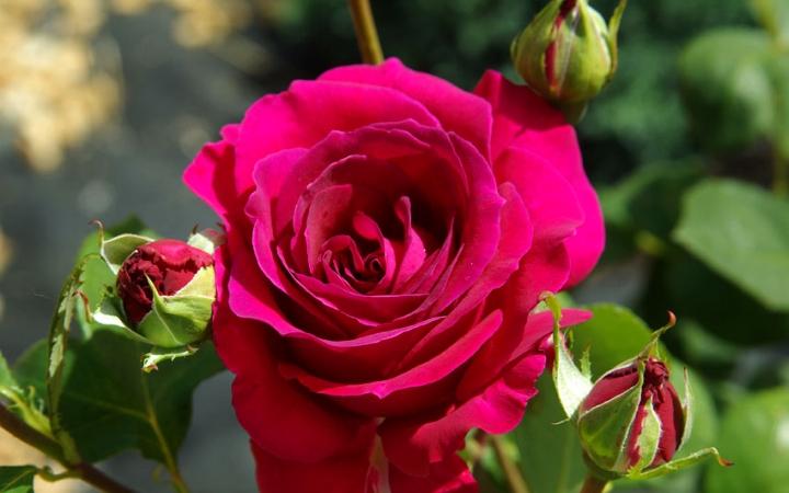 Sadzonki róż z certyfikatem ADR